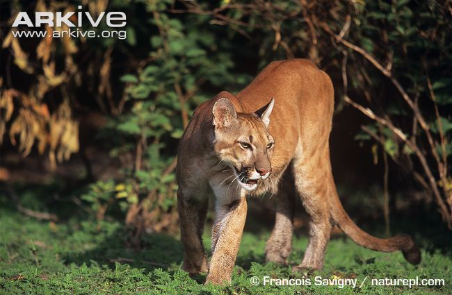 Female puma / cougar / mountain lion in habitat