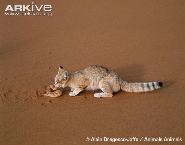 Sand cat feeding on viper © Alain Dragesco-Joffe / Animals Animals