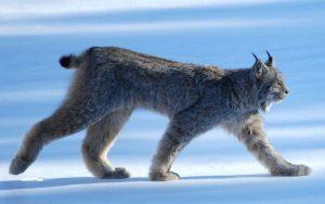 Felidae - Lynx Lineage