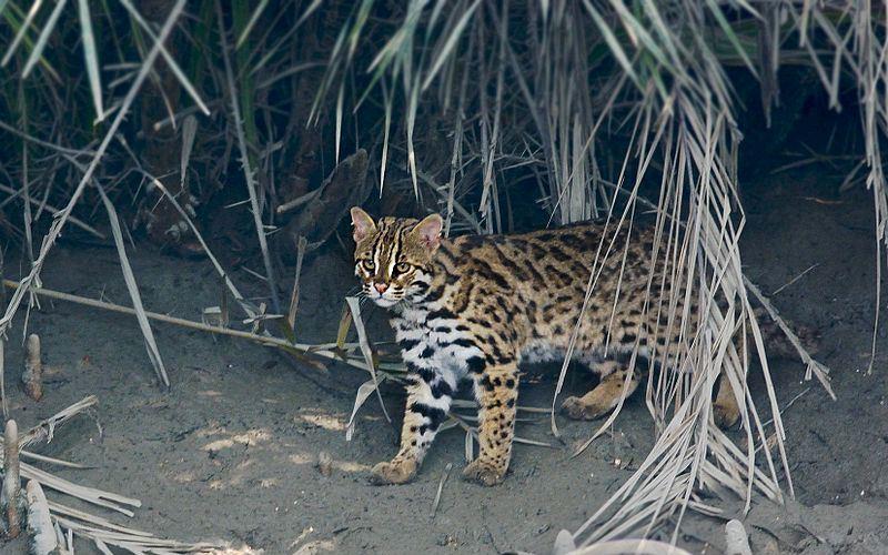 Felidae - Leopard Cat Lineage