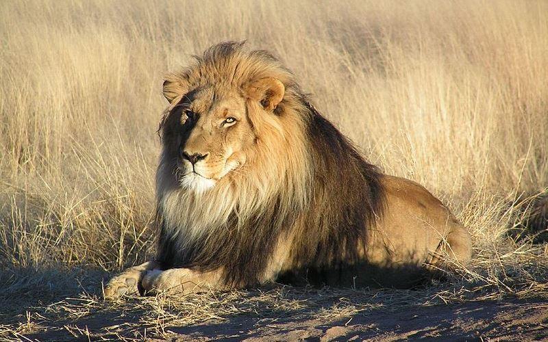 Felidae - Panthera Lineage