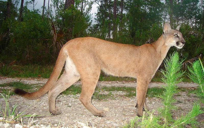 Felidae - Puma Lineage