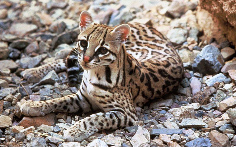 Felidae - Leopardus lineage
