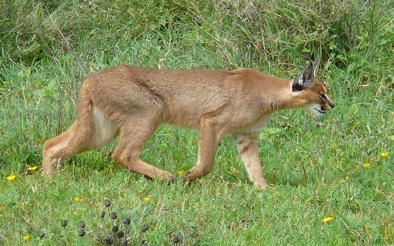 Felidae - Caracal Lineage