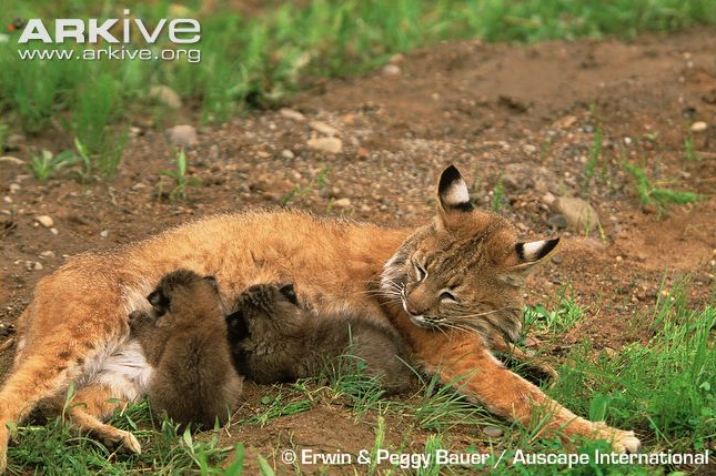 Bobcat nursing with kittens by Erwin & Peggy Bauer