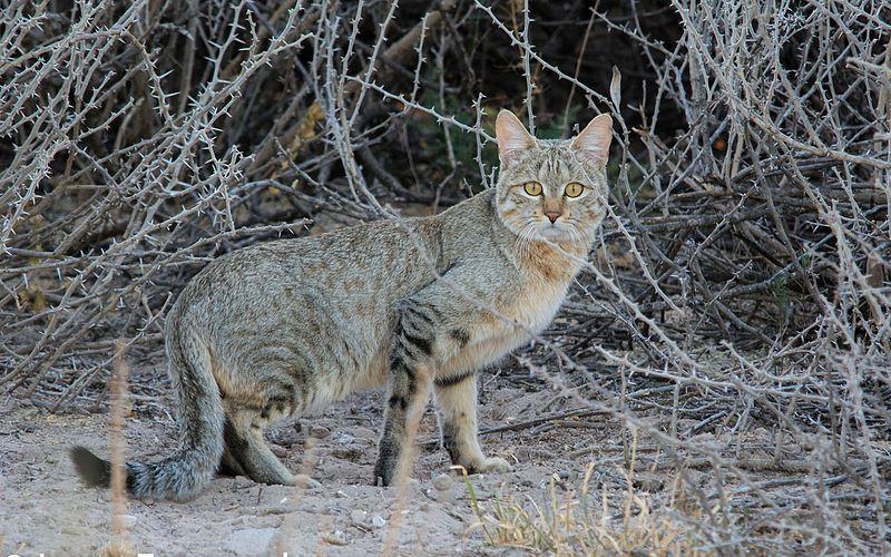 Felidae - Felis Lineage
