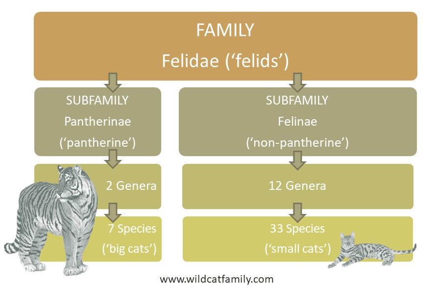 Felidae Lower Classifications