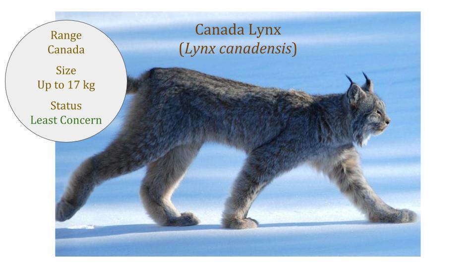 Canada Lynx - Canadian Lynx (Lynx canadensis)