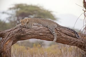 Tours to see Leopards in Africa