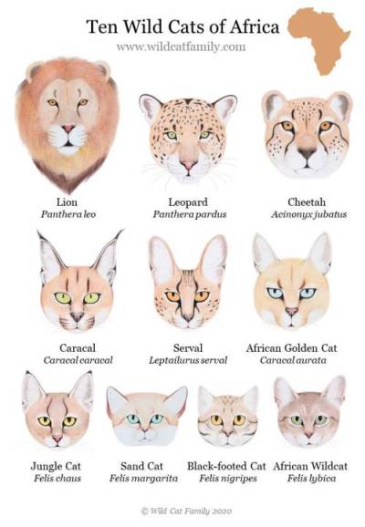Ten African Cats with Scientific Names - Poster