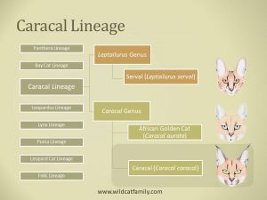 Classification diagram of the Caracal cat.