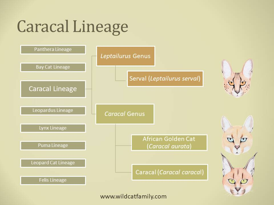 Classification diagram of the Caracal lineage of wild cats.