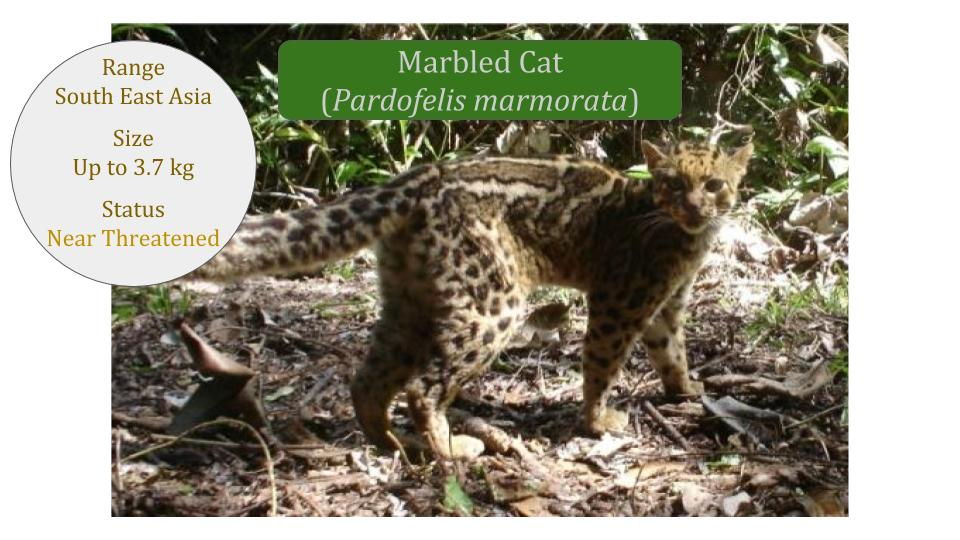 Marbled Cat (Pardofelis marmorata) - Bay Cat Lineage