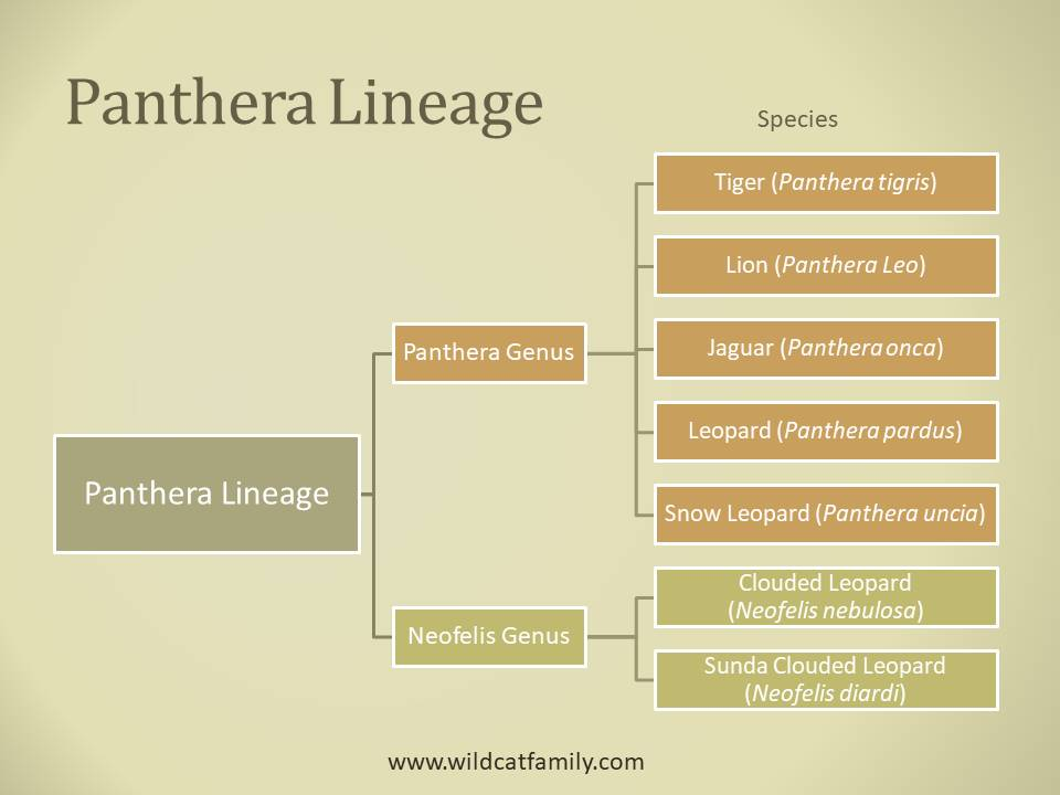 Classification diagram of the Panthera lineage of wild cats.