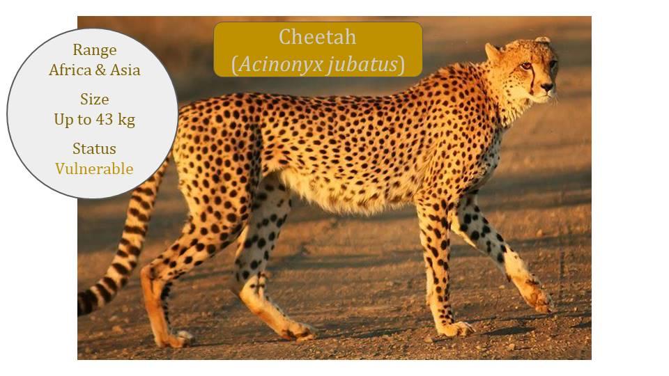 Cheetah (Acinonyx jubatus) - Puma Lineage