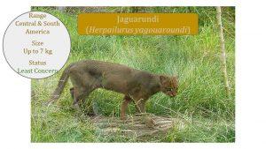 Jaguarundi (Herpailurus yagouaroundi) - Puma Lineage
