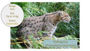 Fishing Cat (Prionailurus viverrinus) - Leopard Cat Lineage