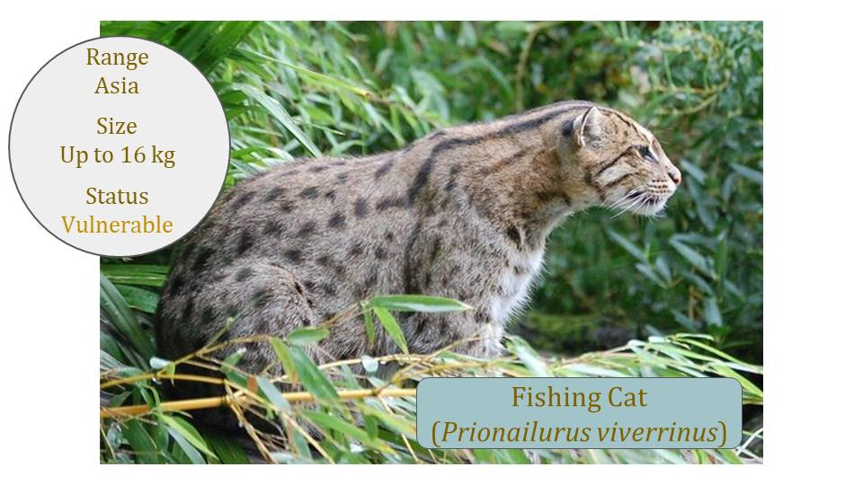 Fishing Cat (Prionailurus viverrinus) - Leopard Cat Lineage