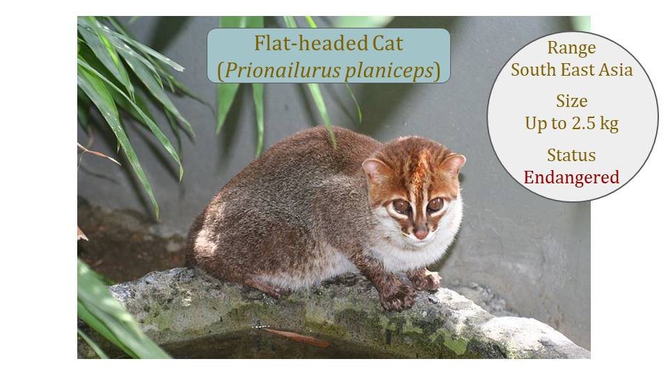 Flat-headed Cat (Prionailurus planiceps) Classification