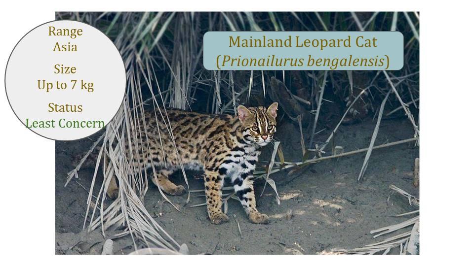 Mainland Leopard Cat (Prionailurus bengalensis) - Leopard Cat Lineage