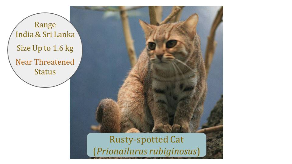 Rusty-spotted Cat (Prionailurus rubiginosus) Classification