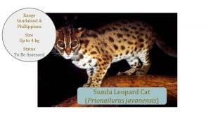 Sunda Leopard Cat (Prionailurus javanensis) - Leopard Cat Lineage