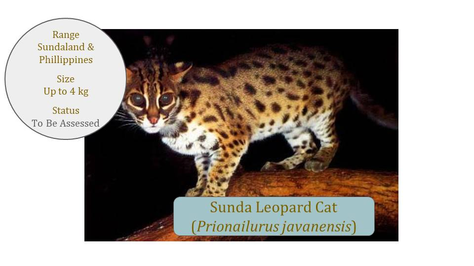 Sunda Leopard Cat (Prionailurus javanensis) Classification