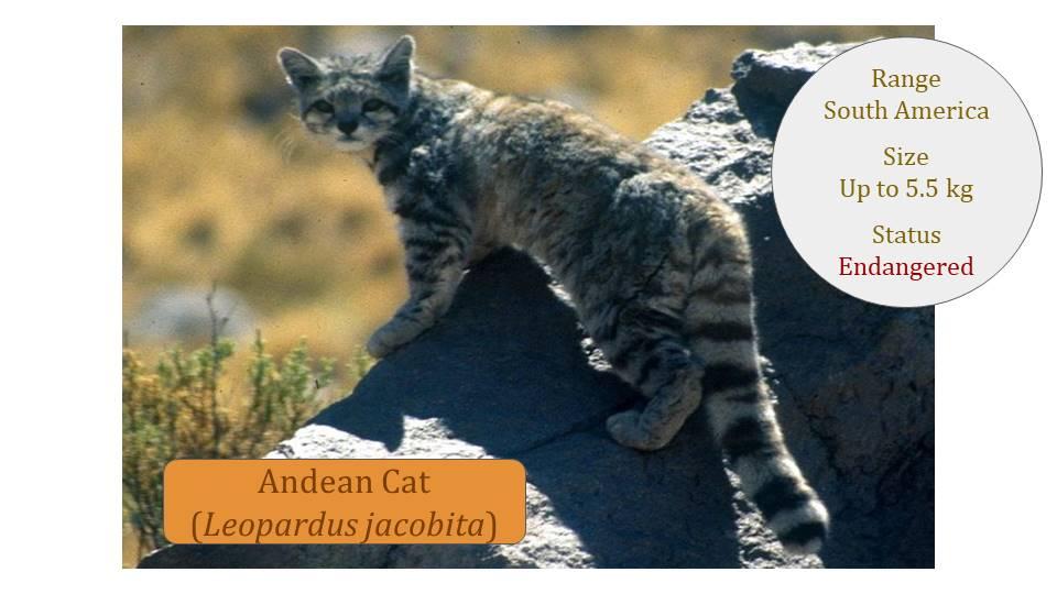 Andean Cat (Leopardus jacobita) - Leopardus Lineage