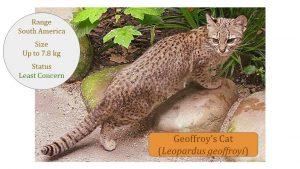 Geoffroys Cat (Leopardus geoffroyi) - Leopardus Lineage