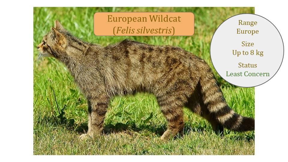 European Wildcat - Felis Lineage