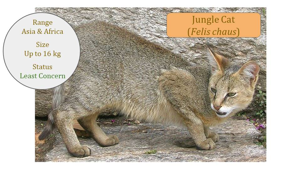 Jungle Cat - Felis Lineage