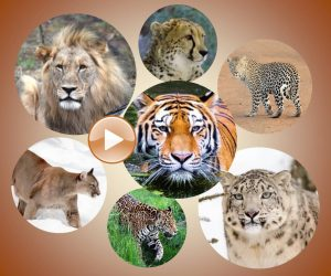 Secret Lives of Big Cats