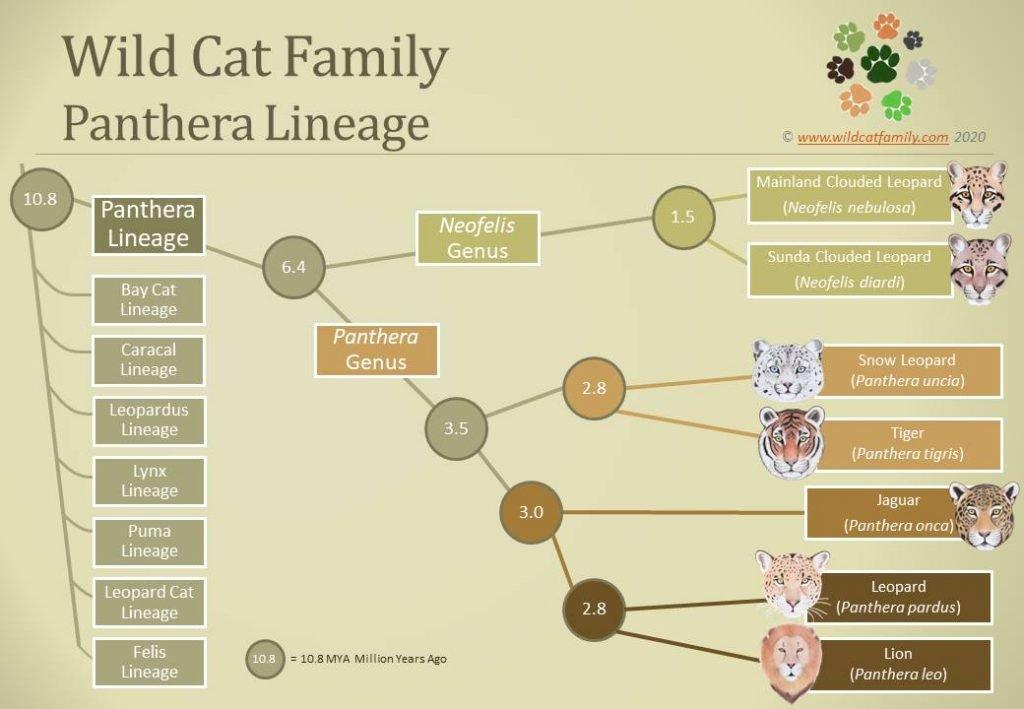 Panthera Evolution Chart
