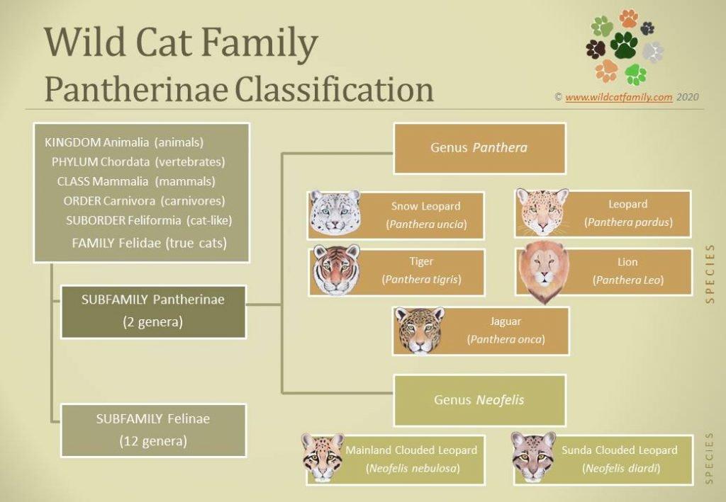 Panthera Cats Taxonomy