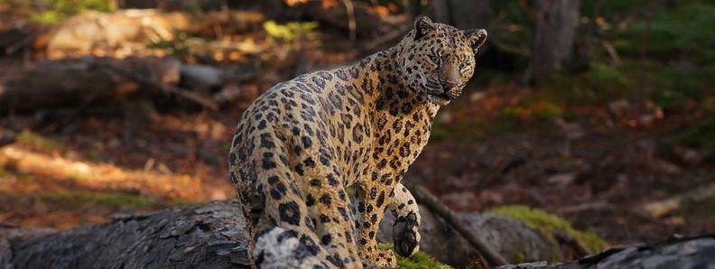 Amur Leopard Sculpture