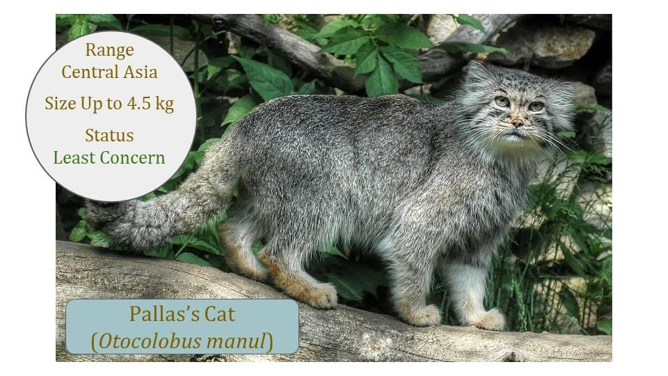 Pallas's Cat (Otocolobus manul) - Classification