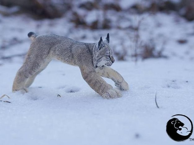Canadian Lynx Sculpture
