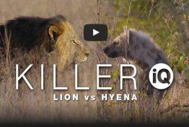 Documentary on lion vs hyena behaviour