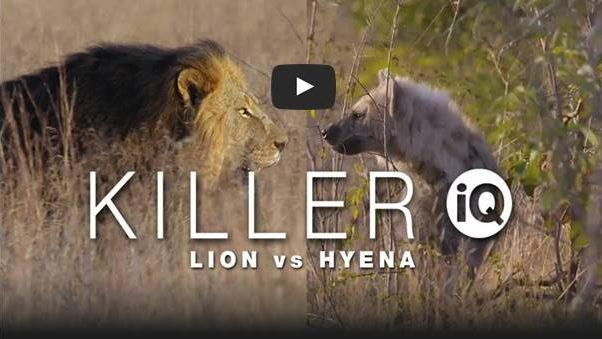 Lion doccie: Killer Lion vs Hyena IQ Curiosity Stream