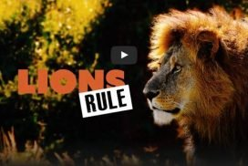Documentary about lions in Africa