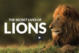 Lion documentary about African and Asian lions