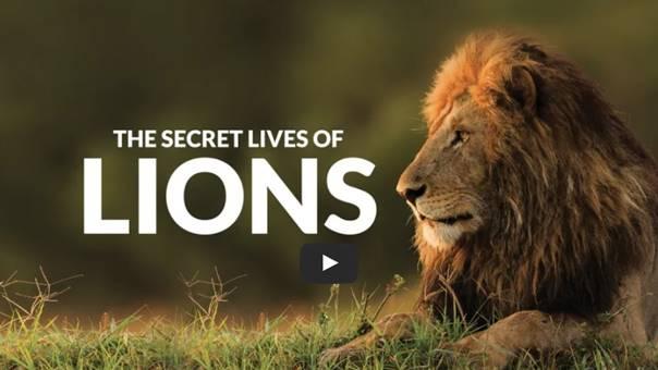 Lion documentary: Secret Lives of Lions on Curiosity Stream