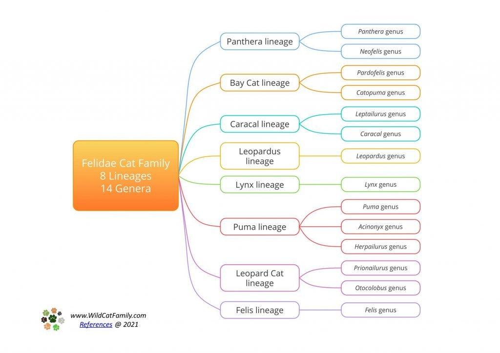 Felidae lineage and genus chart ~ box mindmap